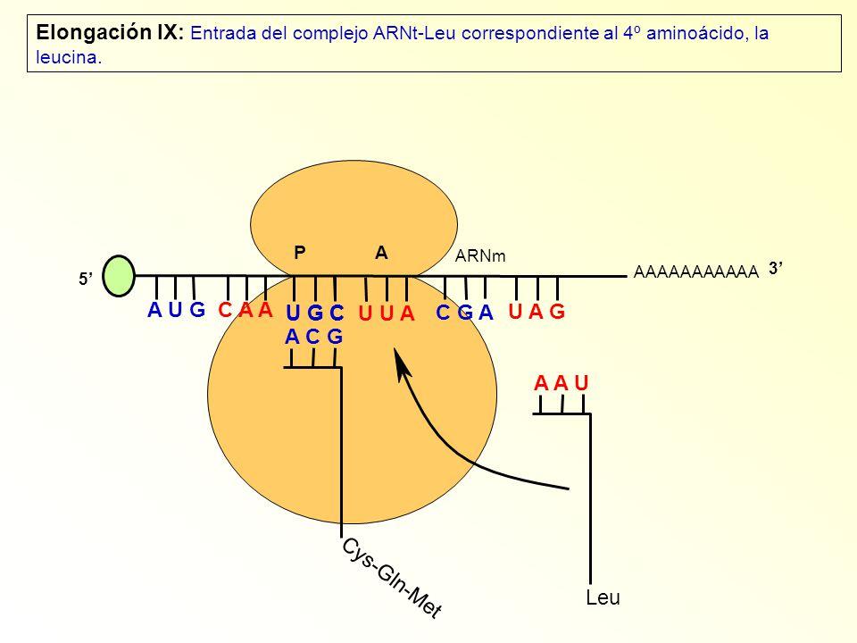 Elongación IX: Entrada del complejo ARNt-Leu correspondiente al 4º aminoácido, la leucina.