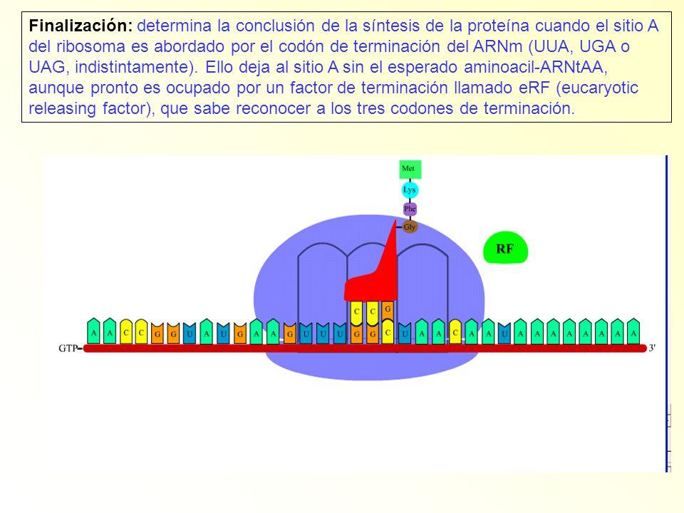 Finalización: determina la conclusión de la síntesis de la proteína cuando el sitio A del ribosoma es abordado por el codón de terminación del ARNm (UUA, UGA o UAG, indistintamente).