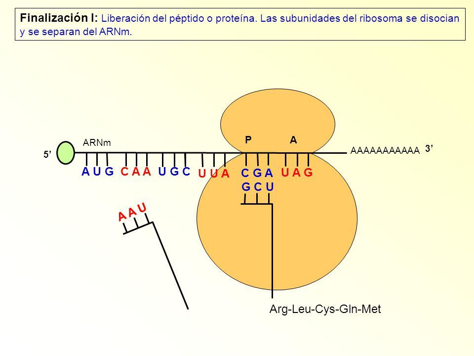 Finalización I: Liberación del péptido o proteína
