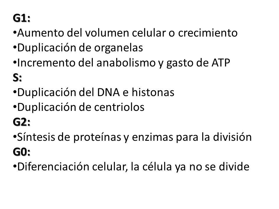 G1: Aumento del volumen celular o crecimiento. Duplicación de organelas. Incremento del anabolismo y gasto de ATP.