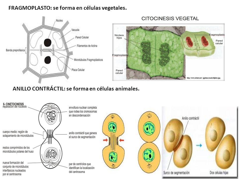 FRAGMOPLASTO: se forma en células vegetales.