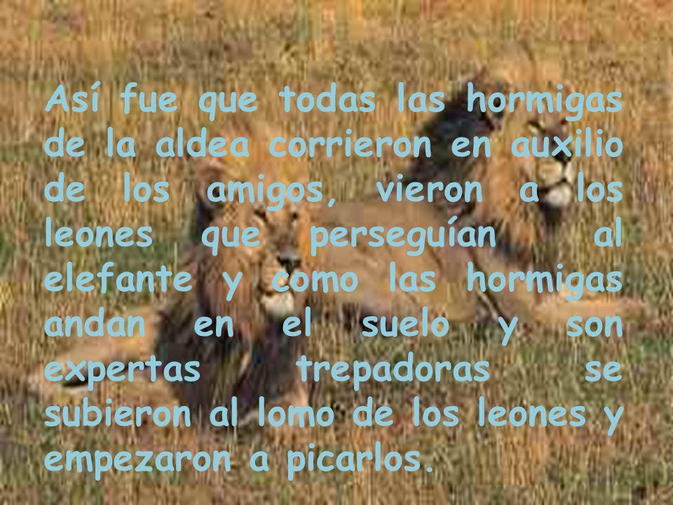 Así fue que todas las hormigas de la aldea corrieron en auxilio de los amigos, vieron a los leones que perseguían al elefante y como las hormigas andan en el suelo y son expertas trepadoras se subieron al lomo de los leones y empezaron a picarlos.