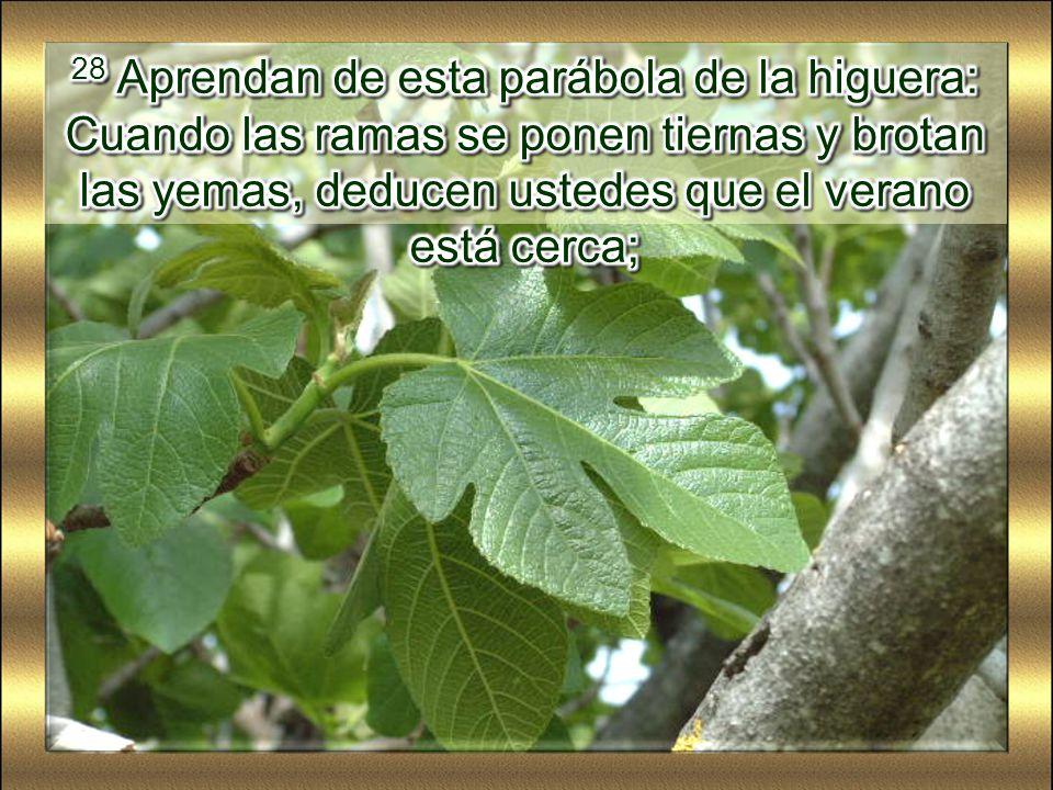 28 Aprendan de esta parábola de la higuera: Cuando las ramas se ponen tiernas y brotan las yemas, deducen ustedes que el verano está cerca;
