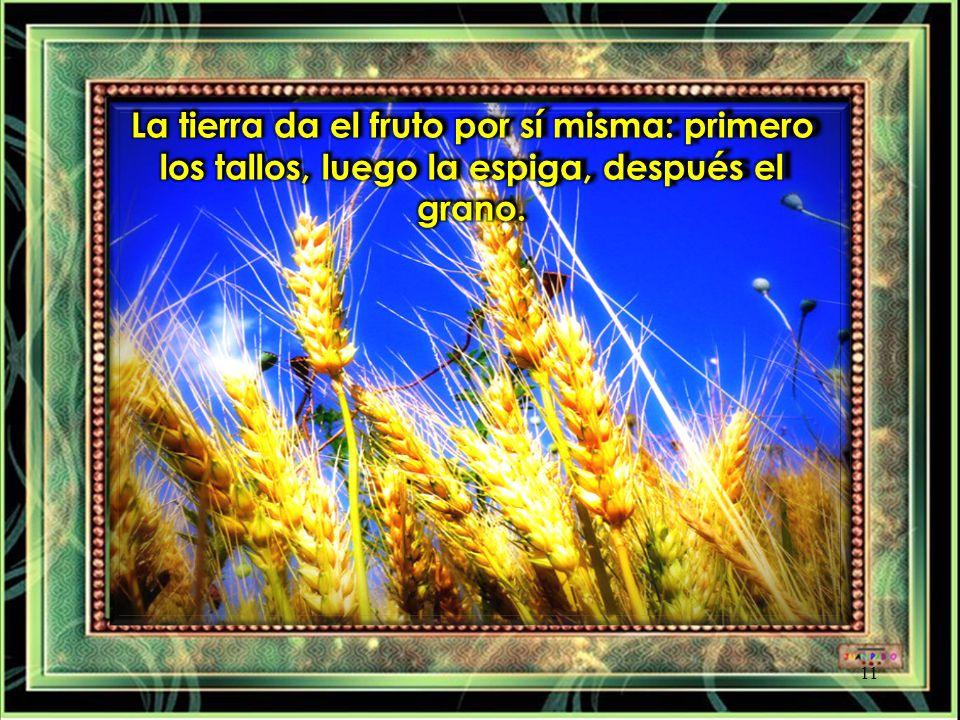 La tierra da el fruto por sí misma: primero los tallos, luego la espiga, después el grano.