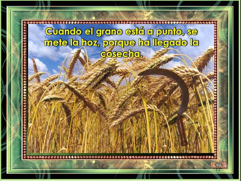 Cuando el grano está a punto, se mete la hoz, porque ha llegado la cosecha.