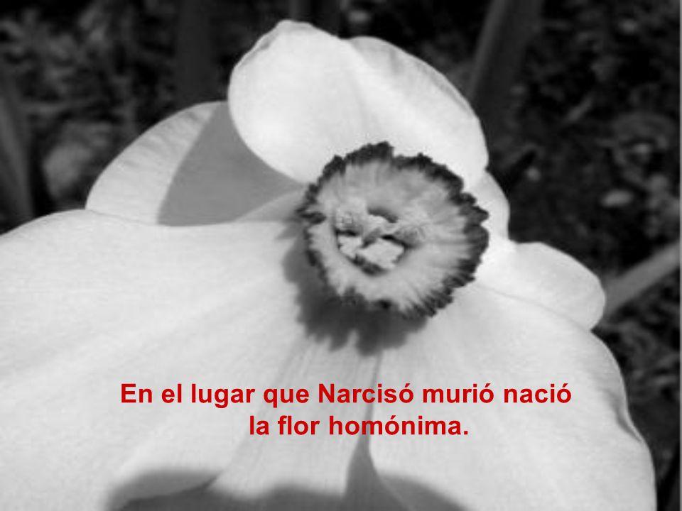 En el lugar que Narcisó murió nació la flor homónima.