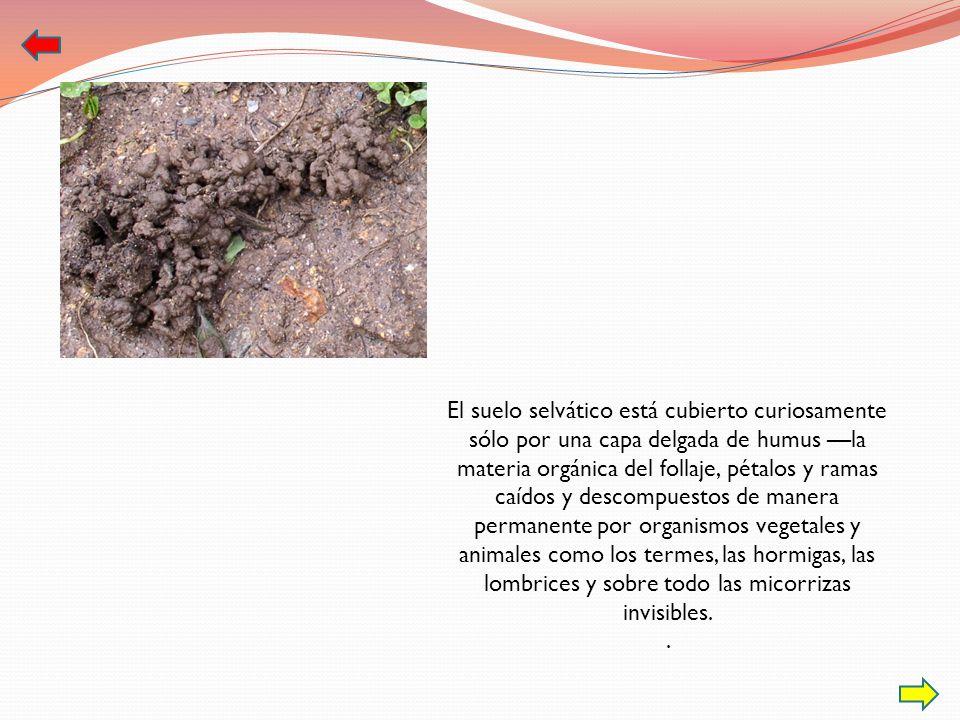 El suelo selvático está cubierto curiosamente sólo por una capa delgada de humus —la materia orgánica del follaje, pétalos y ramas caídos y descompuestos de manera permanente por organismos vegetales y animales como los termes, las hormigas, las lombrices y sobre todo las micorrizas invisibles.
