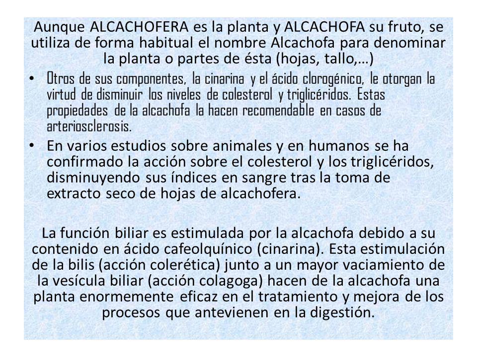 Aunque ALCACHOFERA es la planta y ALCACHOFA su fruto, se utiliza de forma habitual el nombre Alcachofa para denominar la planta o partes de ésta (hojas, tallo,…)