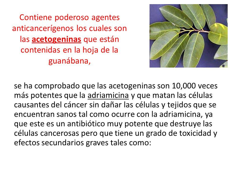 Contiene poderoso agentes anticancerígenos los cuales son las acetogeninas que están contenidas en la hoja de la guanábana,