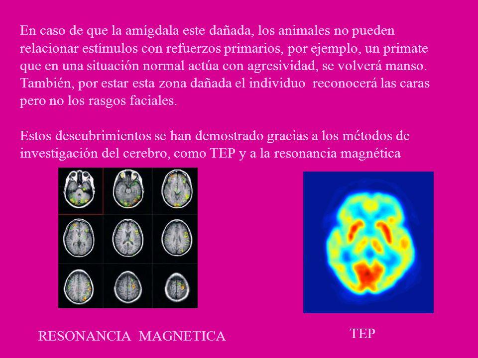 En caso de que la amígdala este dañada, los animales no pueden relacionar estímulos con refuerzos primarios, por ejemplo, un primate que en una situación normal actúa con agresividad, se volverá manso. También, por estar esta zona dañada el individuo reconocerá las caras pero no los rasgos faciales.