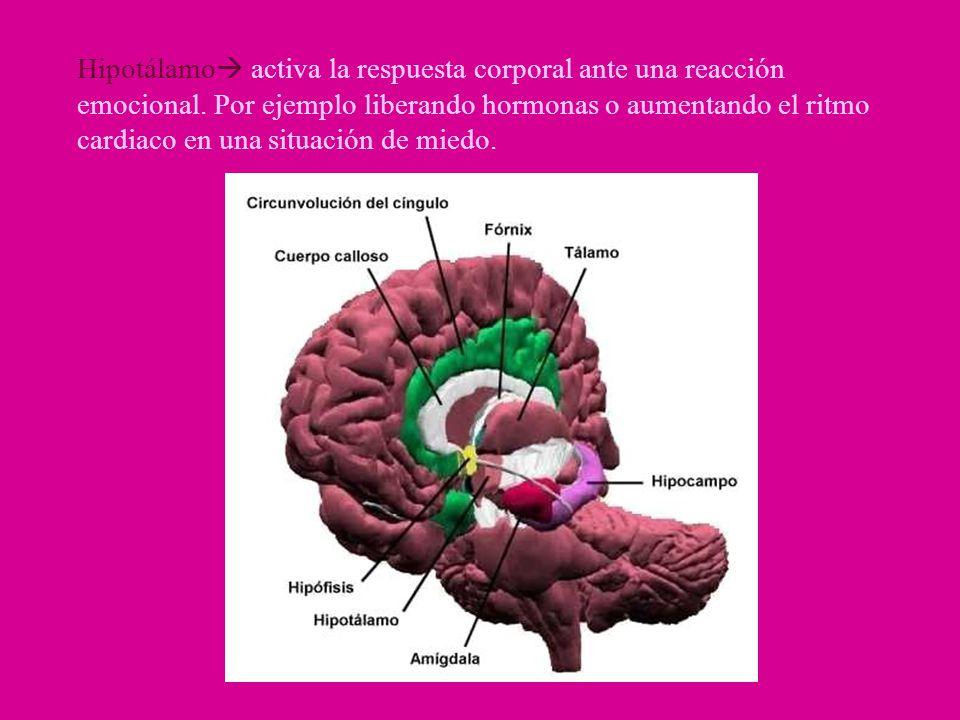 Hipotálamo activa la respuesta corporal ante una reacción emocional