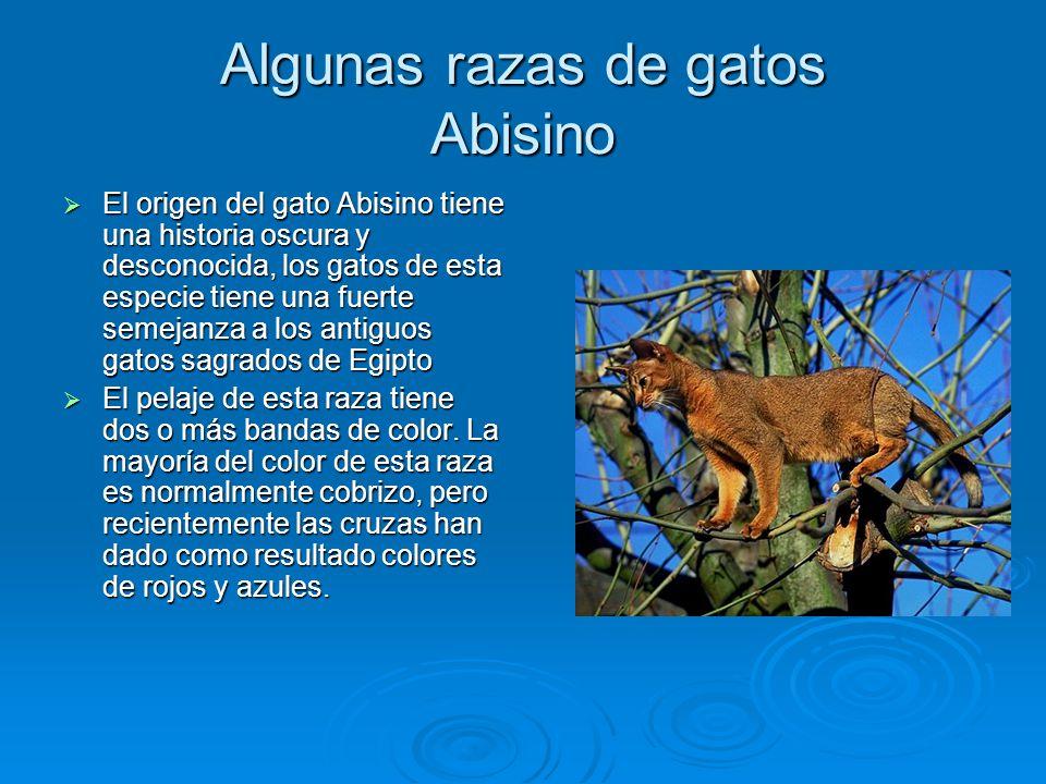 Algunas razas de gatos Abisino
