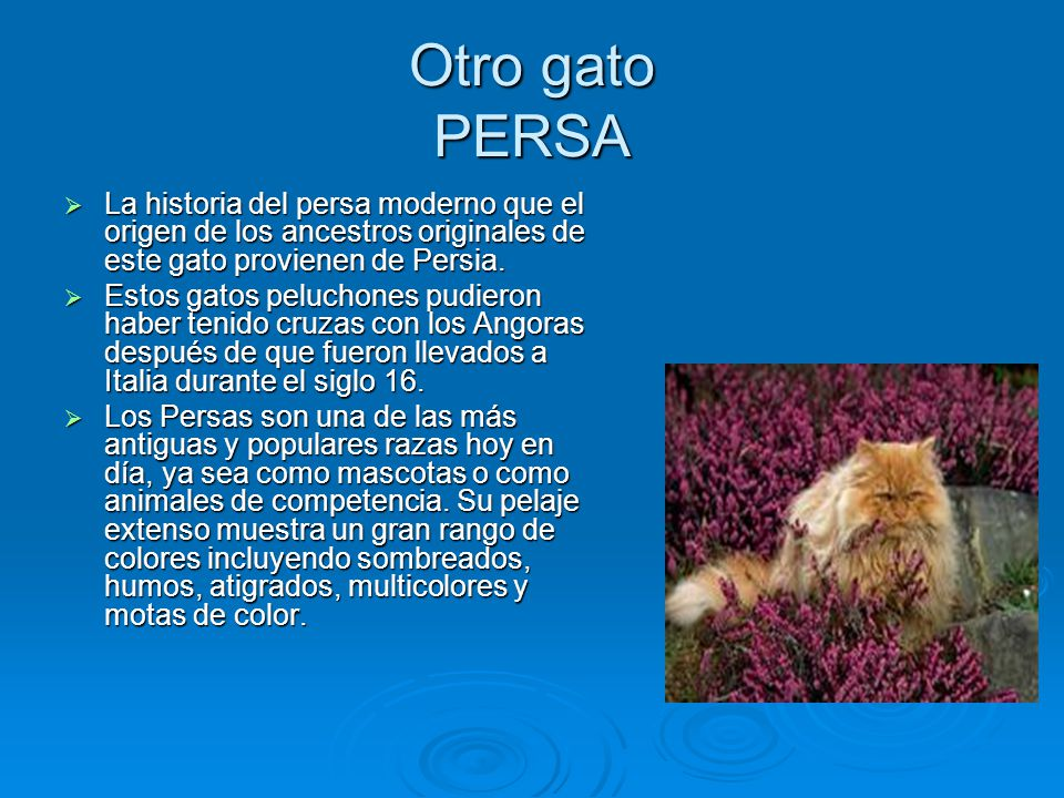 Otro gato PERSA La historia del persa moderno que el origen de los ancestros originales de este gato provienen de Persia.