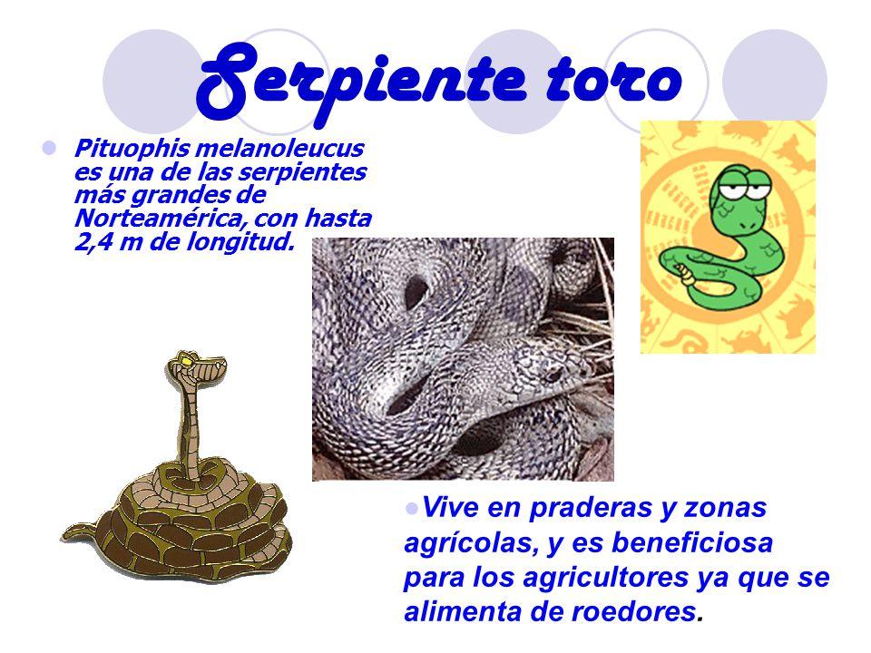 Serpiente toro Pituophis melanoleucus es una de las serpientes más grandes de Norteamérica, con hasta 2,4 m de longitud.