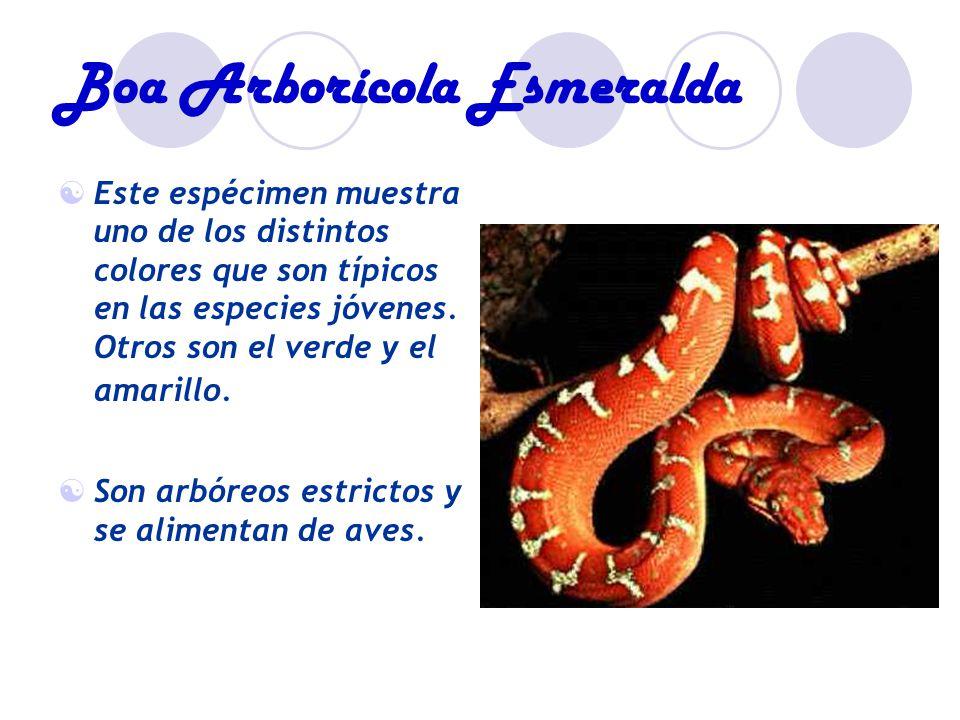 Boa Arborícola Esmeralda