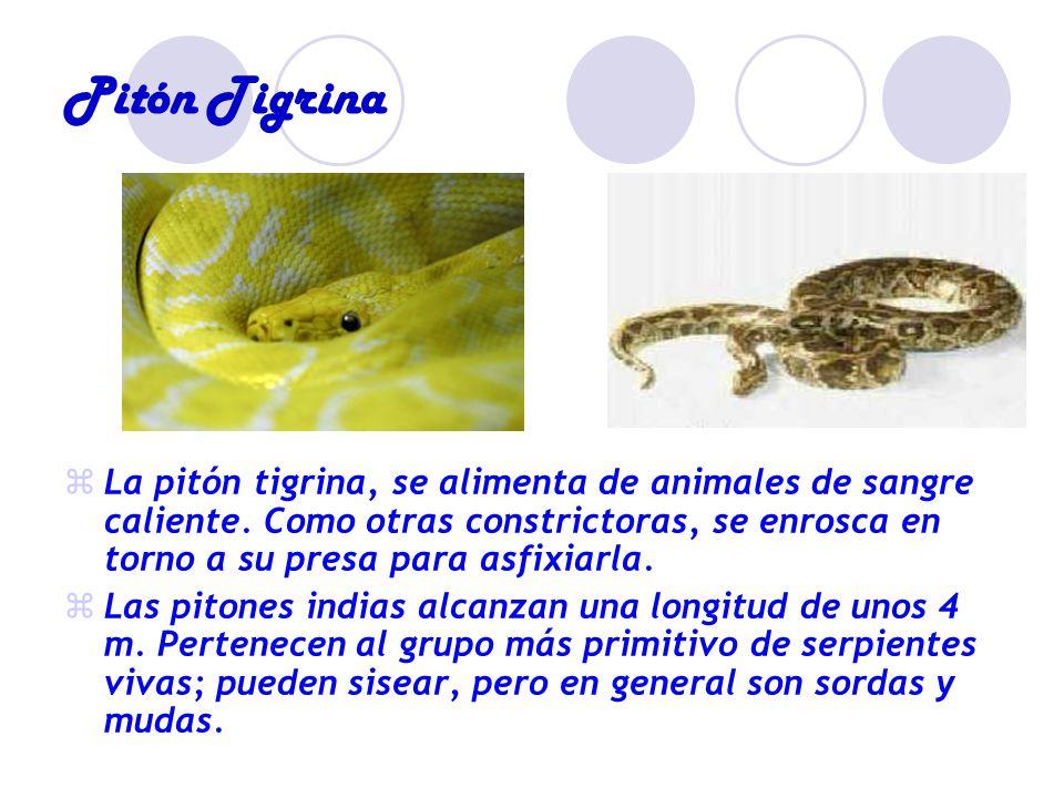Pitón Tigrina La pitón tigrina, se alimenta de animales de sangre caliente. Como otras constrictoras, se enrosca en torno a su presa para asfixiarla.