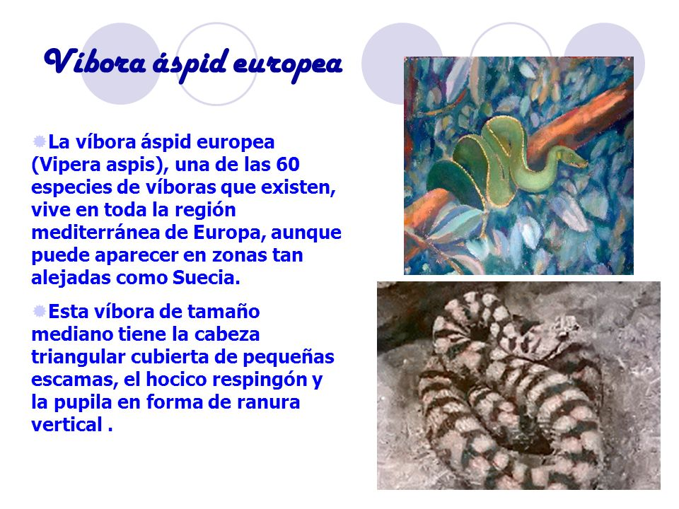 Víbora áspid europea
