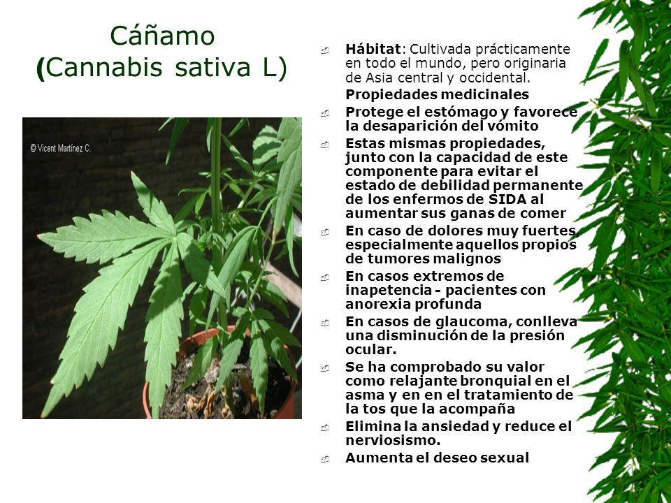 Cáñamo (Cannabis sativa L)