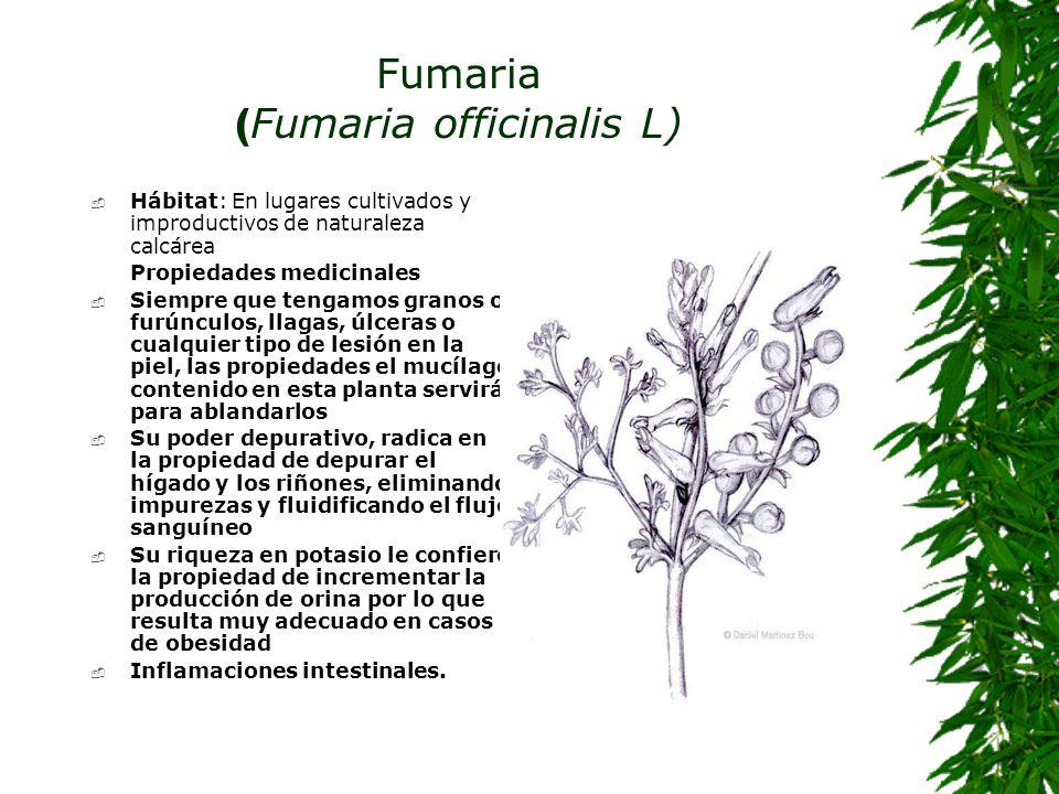 Fumaria (Fumaria officinalis L)