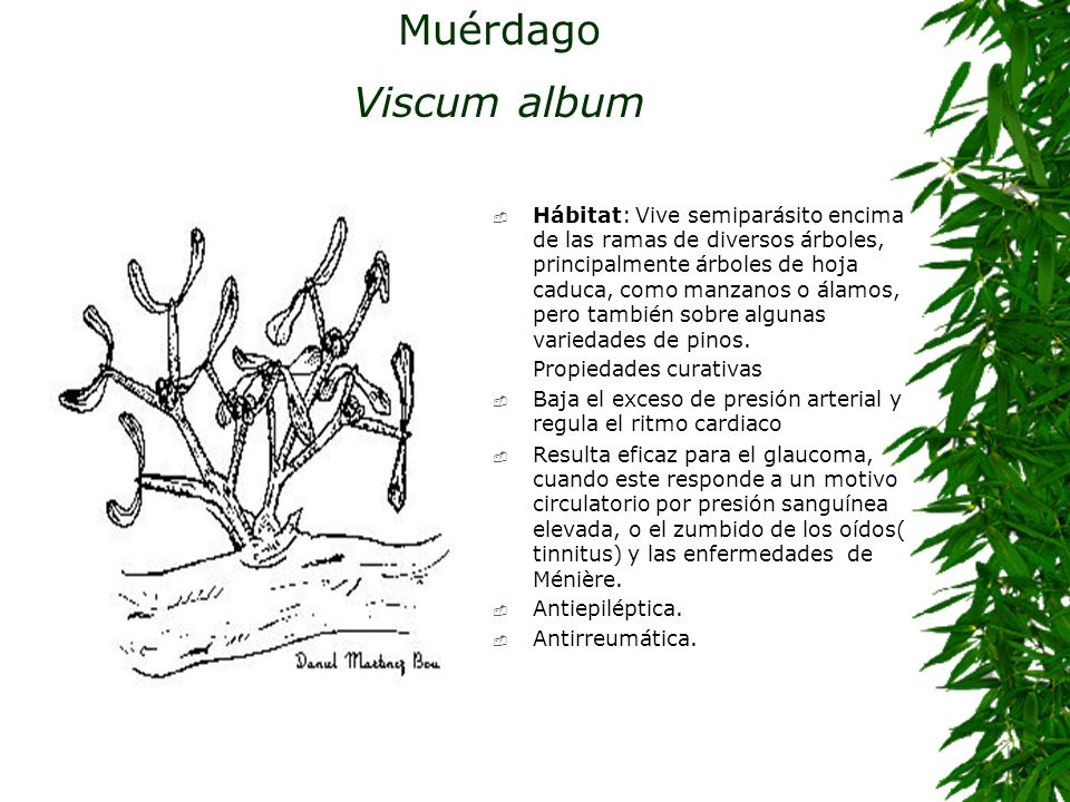 Muérdago Viscum album