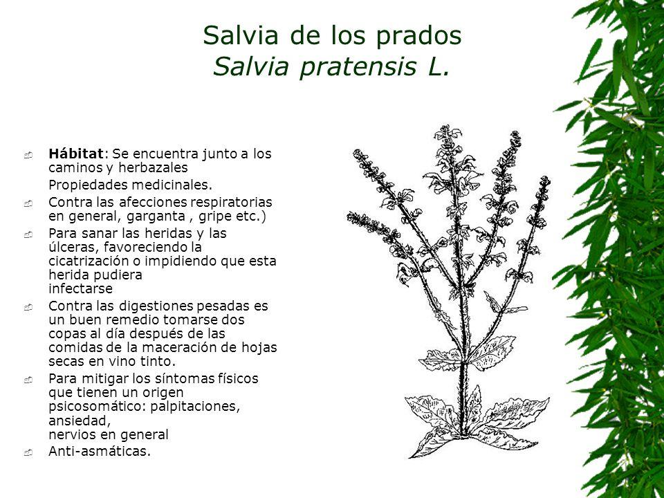 Salvia de los prados Salvia pratensis L.