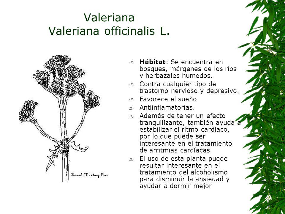 Valeriana Valeriana officinalis L.