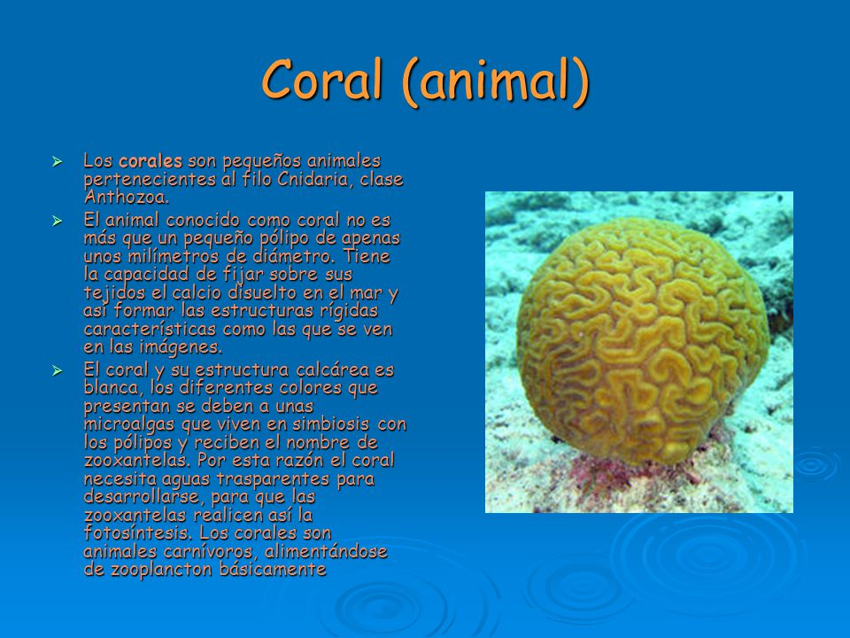 Coral (animal) Los corales son pequeños animales pertenecientes al filo Cnidaria, clase Anthozoa.