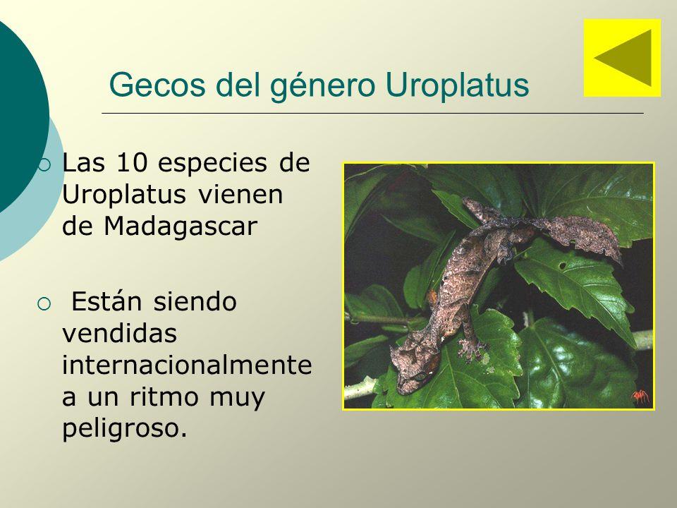 Gecos del género Uroplatus