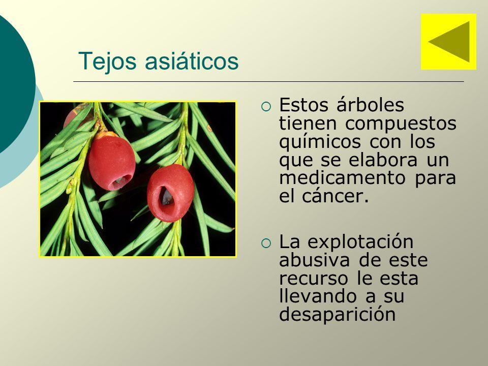 Tejos asiáticos Estos árboles tienen compuestos químicos con los que se elabora un medicamento para el cáncer.
