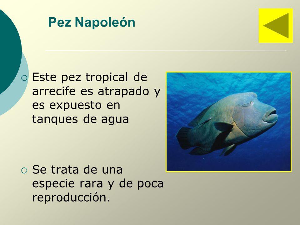 Pez Napoleón Este pez tropical de arrecife es atrapado y es expuesto en tanques de agua.