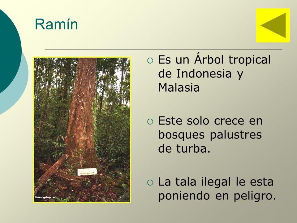 Ramín Es un Árbol tropical de Indonesia y Malasia