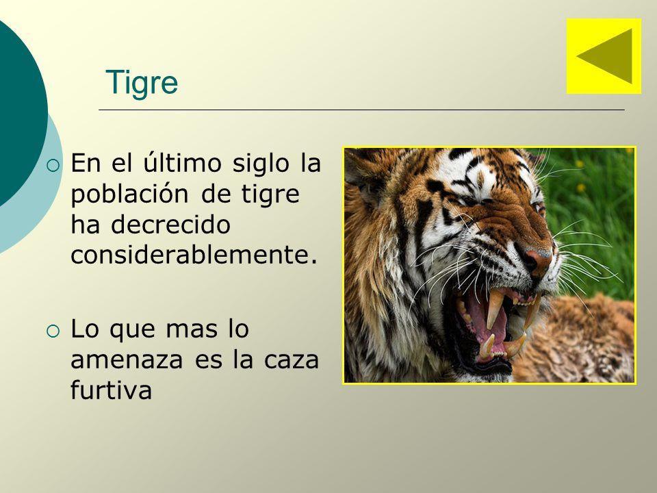 Tigre En el último siglo la población de tigre ha decrecido considerablemente.