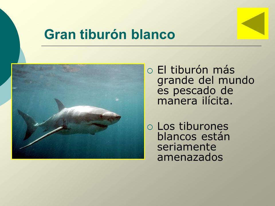 Gran tiburón blanco El tiburón más grande del mundo es pescado de manera ilícita.