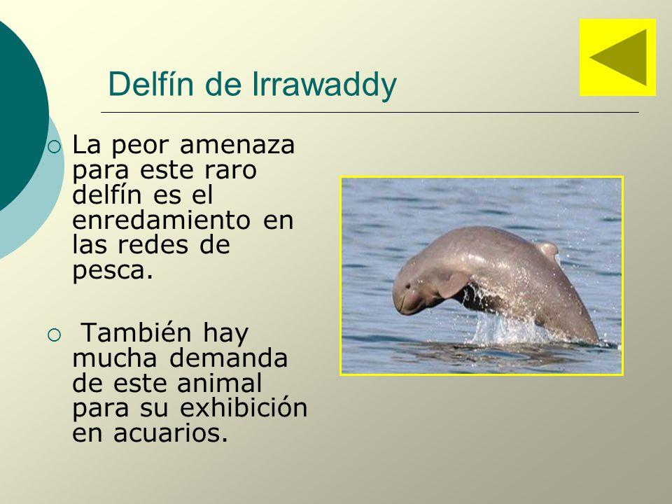 Delfín de Irrawaddy La peor amenaza para este raro delfín es el enredamiento en las redes de pesca.