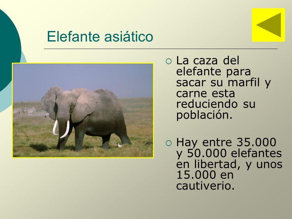 Elefante asiático La caza del elefante para sacar su marfil y carne esta reduciendo su población.