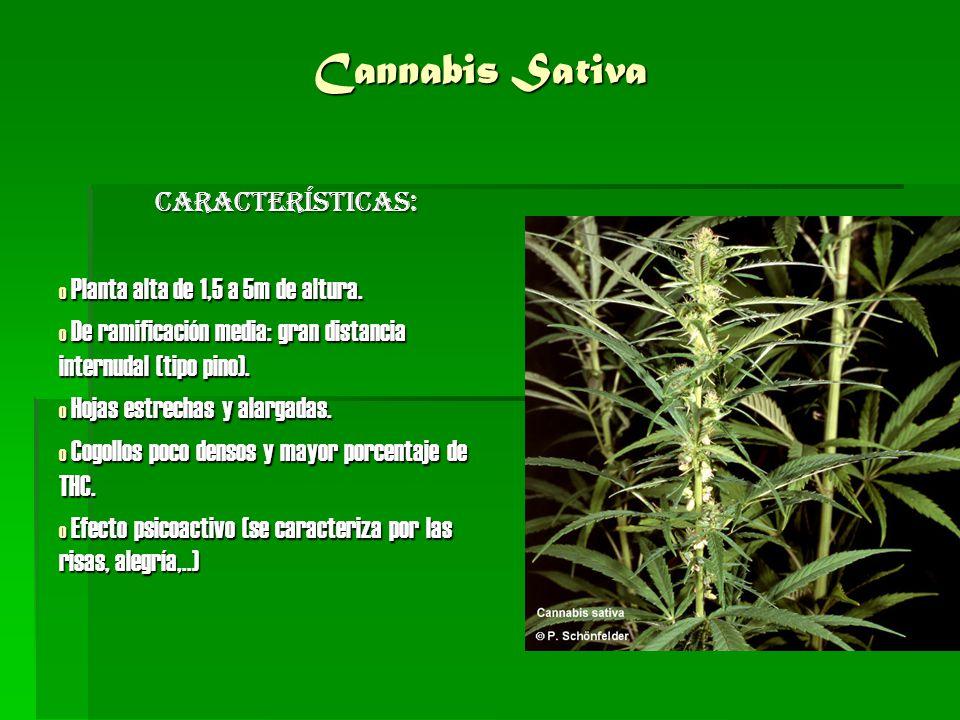 Cannabis Sativa Características: Planta alta de 1,5 a 5m de altura.