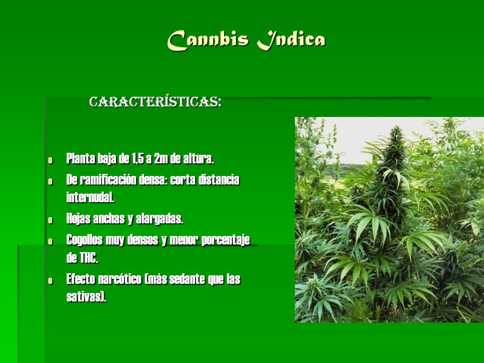 Cannbis Indica Características: Planta baja de 1,5 a 2m de altura.