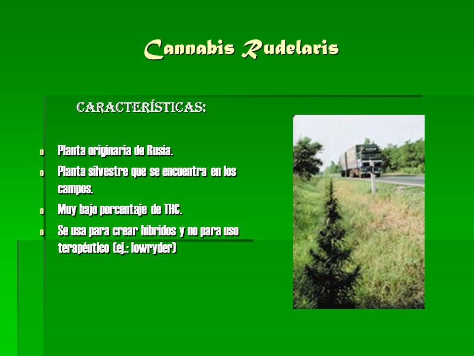 Cannabis Rudelaris CARACTERÍSTICAS: Planta originaria de Rusia.