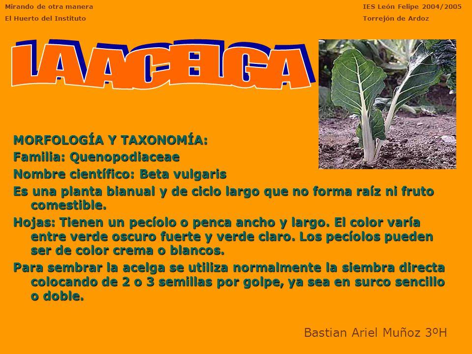 LA ACELGA MORFOLOGÍA Y TAXONOMÍA: Familia: Quenopodiaceae