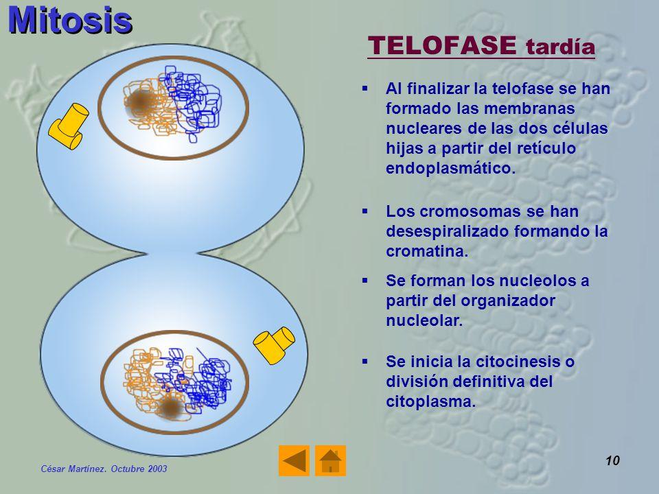 Mitosis TELOFASE tardía
