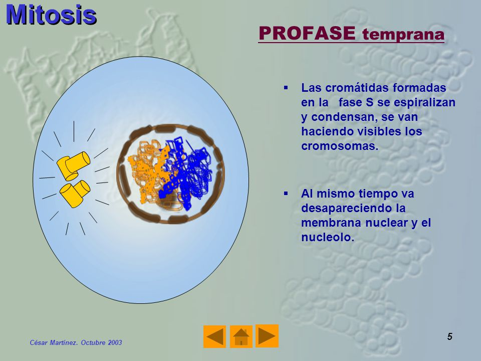 Mitosis PROFASE temprana