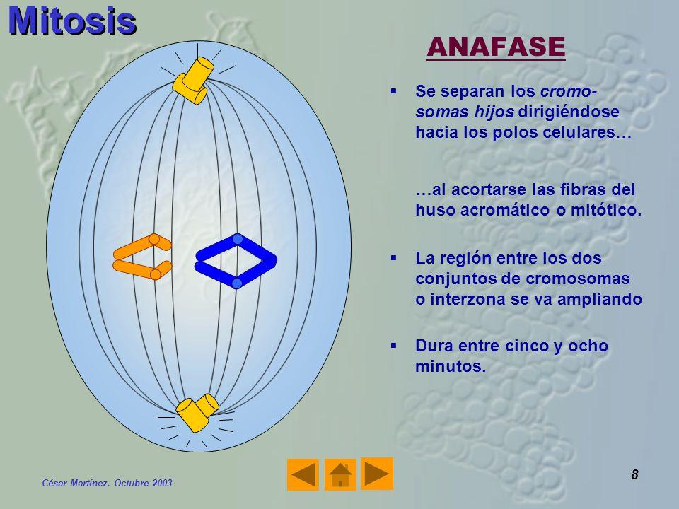 Mitosis ANAFASE. Se separan los cromo-somas hijos dirigiéndose hacia los polos celulares… …al acortarse las fibras del huso acromático o mitótico.