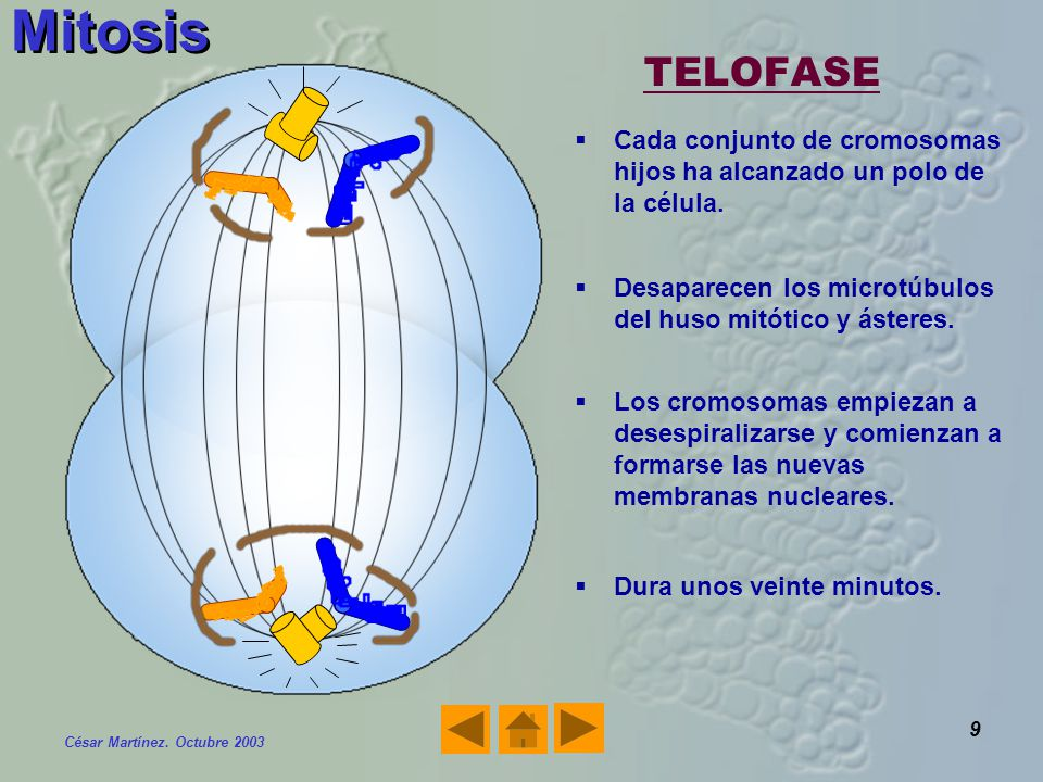 Mitosis TELOFASE. Cada conjunto de cromosomas hijos ha alcanzado un polo de la célula. Desaparecen los microtúbulos del huso mitótico y ásteres.