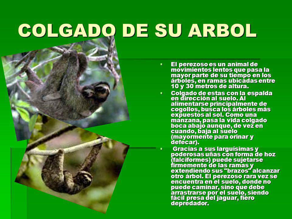 COLGADO DE SU ARBOL
