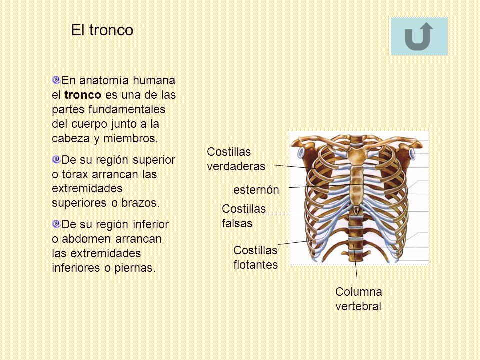 El tronco En anatomía humana el tronco es una de las partes fundamentales del cuerpo junto a la cabeza y miembros.
