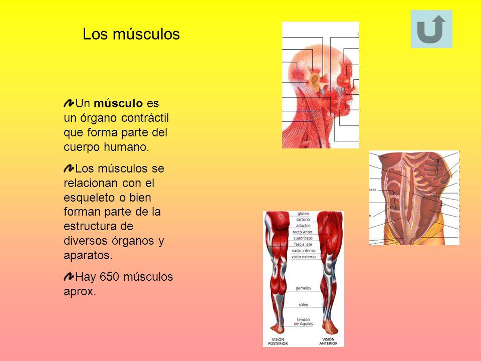 Los músculos Un músculo es un órgano contráctil que forma parte del cuerpo humano.