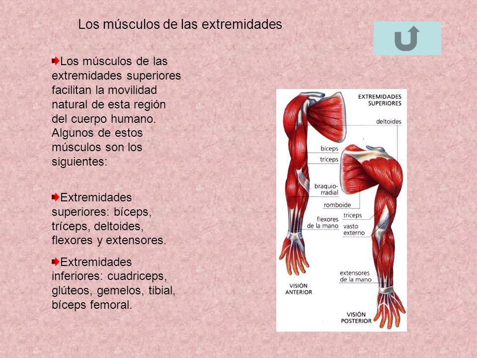 Fantástico Los Músculos De La Anatomía De Las Extremidades ...