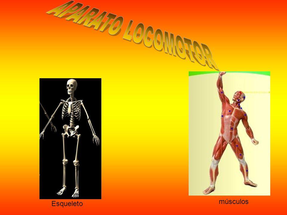 APARATO LOCOMOTOR músculos Esqueleto