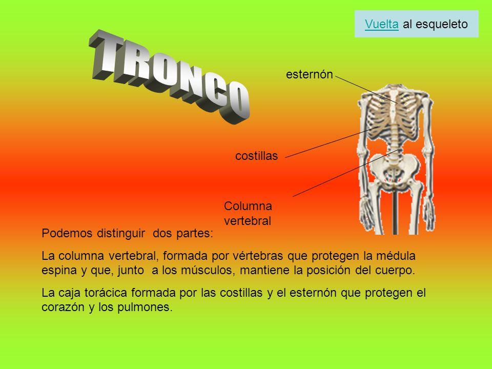 TRONCO Vuelta al esqueleto esternón costillas Columna vertebral