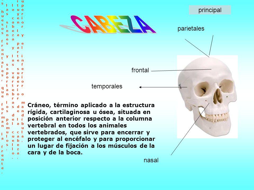 CABEZA principal parietales frontal temporales nasal